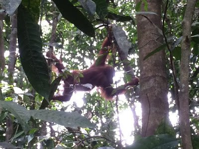 An orangutan hanging from a tree during a jungle trek, a good way for families to practice ethical family travel