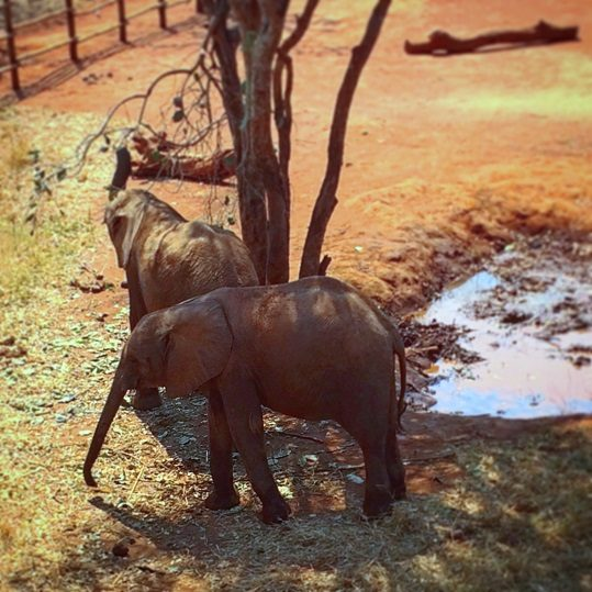 Baby elephants at Lilayi Elephant Nursery, one of the things to do in Lusaka, Zambia