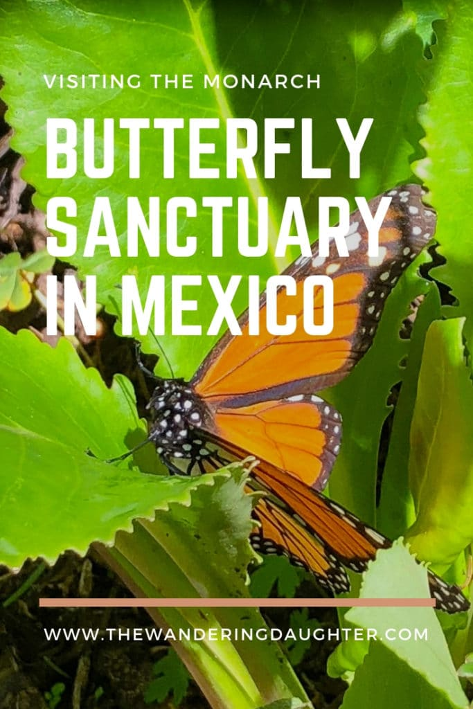 Visiting the Monarch Butterfly Sanctuary in Mexico | The Wandering Daughter | Tips for families visiting the Monarch butterfly sanctuary in the Michoacan region of Mexico.