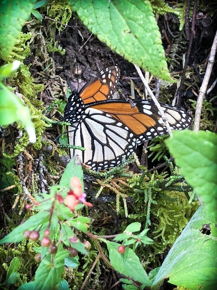 A butterfly at the monarch butterfly sanctuary in Mexico