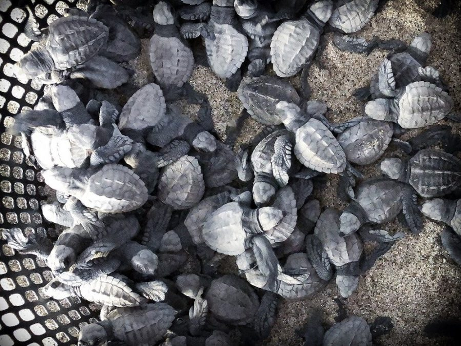 Baby turtles waiting for a turtle release in Puerto Escondido, Mexico