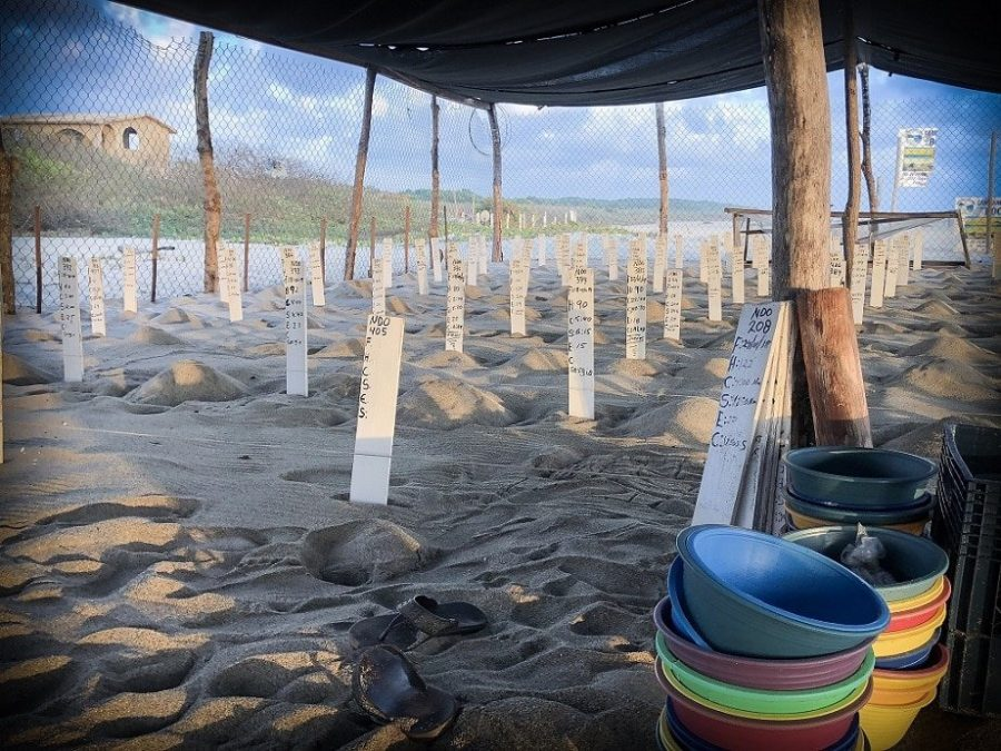 Baby sea turtle nests at a sanctuary in preparation for a turtle release in Puerto Escondido, Mexico