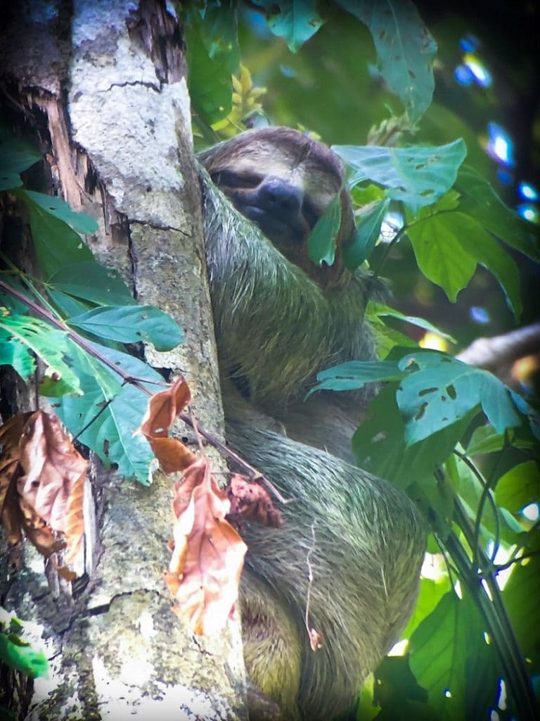 A sloth in the forest in Costa Rica, home of sustainable tourism examples