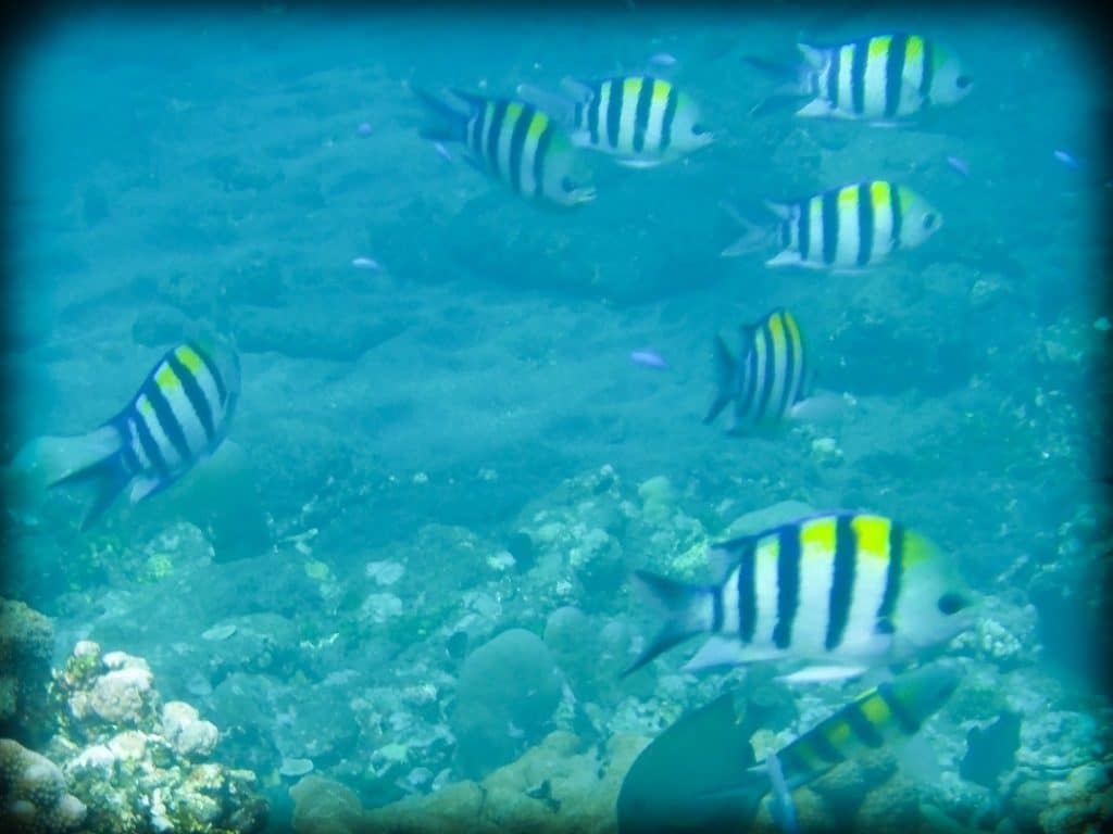 A school of black and white striped fish with yellow tops, swimming underwater at a coral reef in Amed Bali