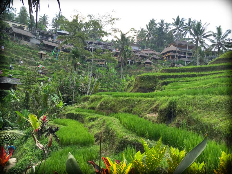 Rice terraces at Tegalalang Rice Terraces, with restaurants in the background. In the picture are some tourists engaging in popular Ubud activities such as walking along the rice paddies.