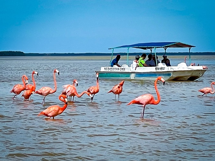 Flamingos standing in the water with a shallow bottom boat with a canopy filled with people.