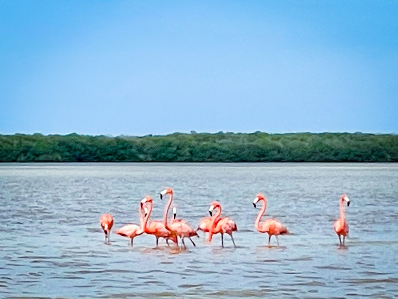 Pink flamingos standing in the water up to their knees.